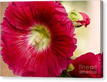 Canvas Print featuring the photograph Red Hollyhock Althaea Rosea by Sue Smith