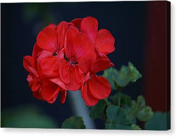 Red Is My Blossom Canvas Print by Thomas D McManus