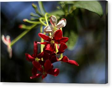 Red Jasmine Blossom Canvas Print by Ramabhadran Thirupattur