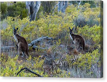Red Kangaroo Macropus Rufus Canvas Print by Panoramic Images