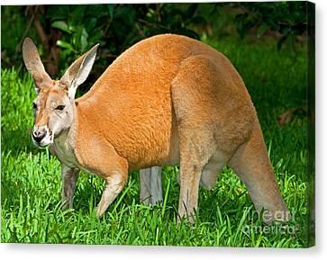 Red Kangaroo Canvas Print by Millard H. Sharp