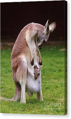 Kangaroo Canvas Print - Red Kangaroo Mother And Young, Australia by Art Wolfe