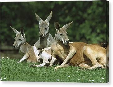 Red Kangaroo Trio Relaxing Australia Canvas Print by Konrad Wothe