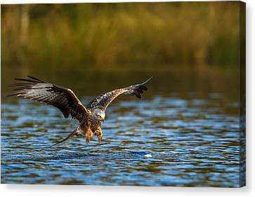 Red Kite Swooping Over Water Canvas Print by Izzy Standbridge