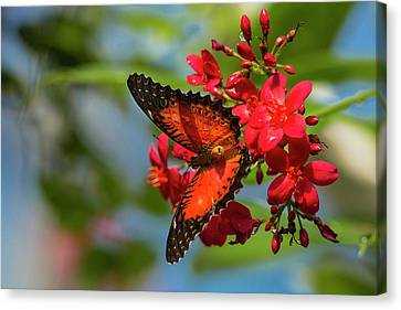 Red Lacewing Butterfly (cethosia Biblis Canvas Print by Chuck Haney