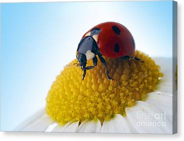 Red Ladybug And Camomile Flower Canvas Print