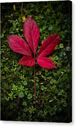 Red Leaf Canvas Print by Shane Holsclaw