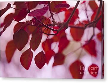 Red Leaves - Euphorbia Cotinifolia - Tropical Smoke Bush Canvas Print by Sharon Mau