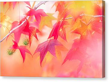 Red Leaves With Backlit, Autumn Canvas Print