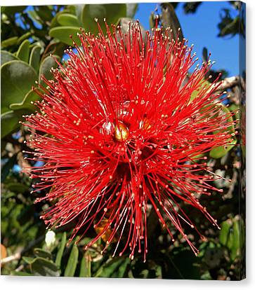 Red Lehua Canvas Print by Pamela Walton