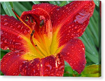 Red Lily After The Rain Canvas Print