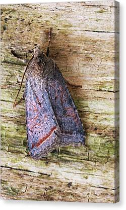 Red Line Quaker Moth Canvas Print