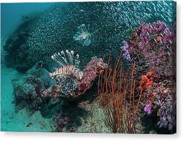 Red Lionfish Hunting Over A Coral Reef Canvas Print by Georgette Douwma