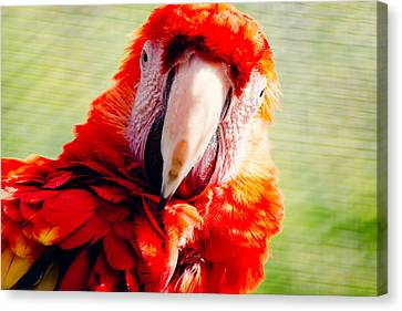 Red Macaw Canvas Print by Pati Photography