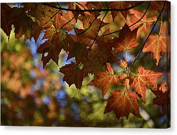 Red Maple Canopy Canvas Print
