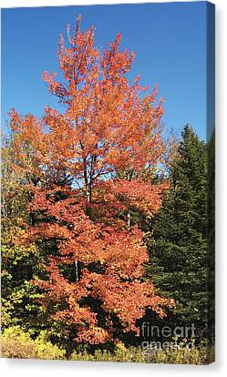 Maple Season Canvas Print - Red Maple In Autumn by Gregory G. Dimijian