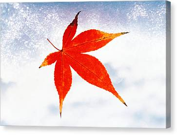 Red Maple Leaf Against White Background Canvas Print by Panoramic Images