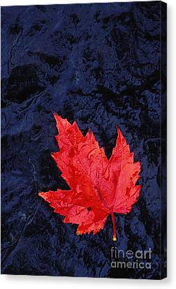 Red Maple Leaf And Black Stone - Fs000222 Canvas Print by Daniel Dempster