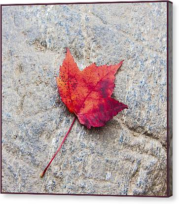 Red Maple Leaf On Granite Stone In A Square Format Canvas Print by Karen Stephenson