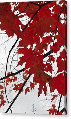 Red Maple Leaves Canvas Print by Ana V Ramirez