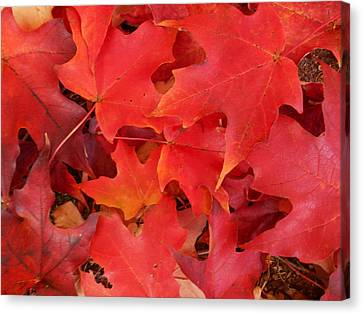 Red Maple Leaves Carpeting The Ground Canvas Print