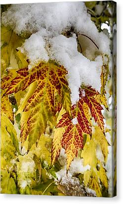 Red Maple Leaves In The Snow Canvas Print