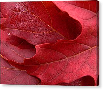 Red Maple Leaves Canvas Print by Jennie Marie Schell