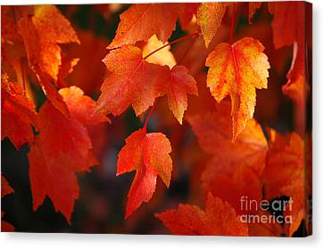 Red Maple Leaves Canvas Print