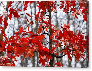 Red Maple Tree Canvas Print