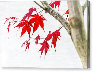 Hannes Cmarits Canvas Print - Red Maple Tree by Hannes Cmarits