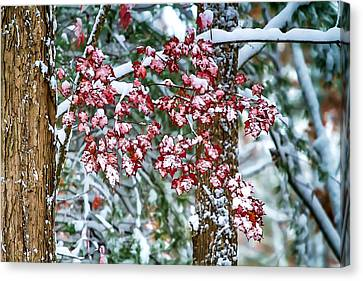 Winter Storm Canvas Print - Red Maple With Snow by John Haldane