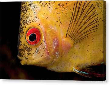 Red Melon Discus Canvas Print by Nigel Downer
