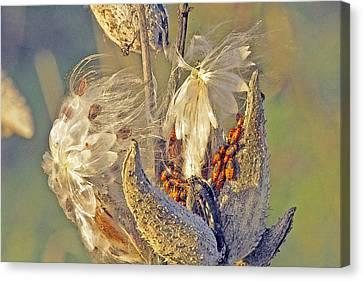 Red Milkweed Beetles Canvas Print by Constantine Gregory