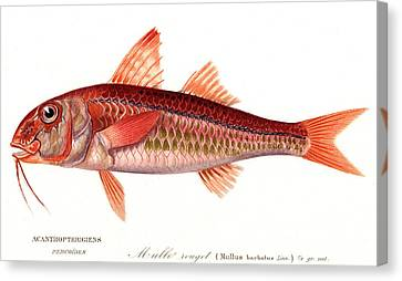 Red Mullet Canvas Print