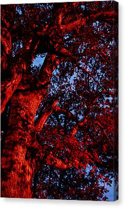Red Oak  Canvas Print
