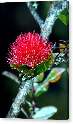 Canvas Print featuring the photograph Red Ohia Lehua In Hawaii Volcano Mist by Lehua Pekelo-Stearns