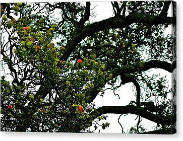 Red Ohia Lehua Tree Canvas Print