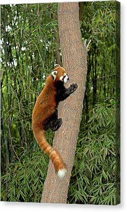 Red Panda Climbing A Tree Canvas Print