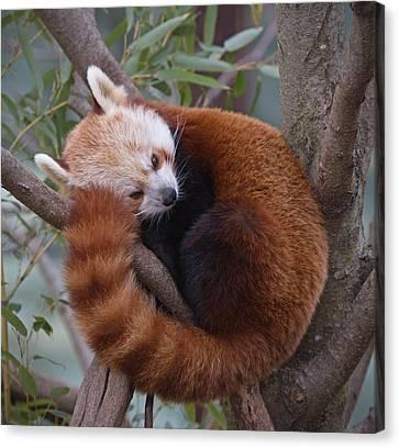 Red Panda Canvas Print