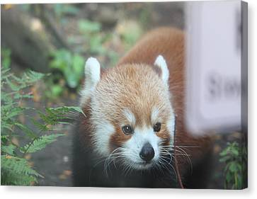 Red Panda - National Zoo - 01132 Canvas Print by DC Photographer