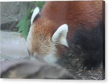 Panda Canvas Print - Red Panda - National Zoo - 01133 by DC Photographer