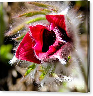 Red Pasque Flower In Sunlight - Closeup Canvas Print