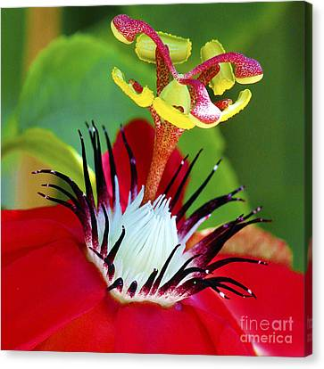 Red Passion Flower Canvas Print by Karen Anderson