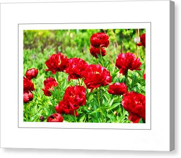 Red Peonis Canvas Print by Elaine Manley