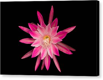 Red Petals In The Morning Canvas Print