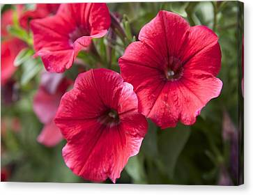 Red Petunias Canvas Print by Terry Horstman