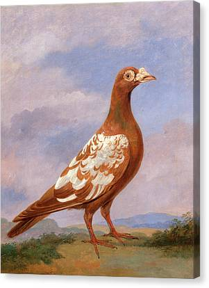 Red Pied Carrier Carrier Pigeons Red Pied Carrier Plumage Canvas Print