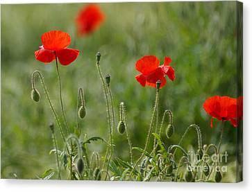 Red Poppies 2 Canvas Print by Carol Lynch