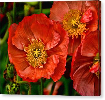 Red Poppies At Fort Worth Botanic Gardens Canvas Print