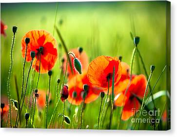 Red Poppies Canvas Print by Boon Mee